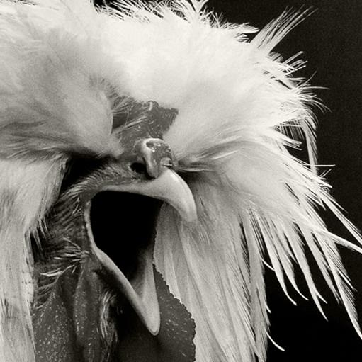 Können Hühner Wunder sein?